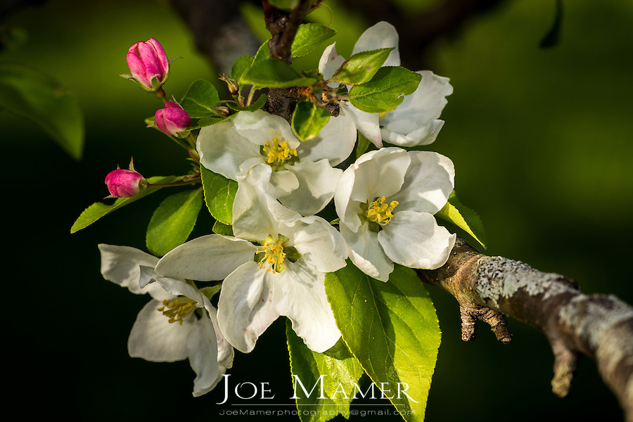 White and pink apple blossoms in springtime.