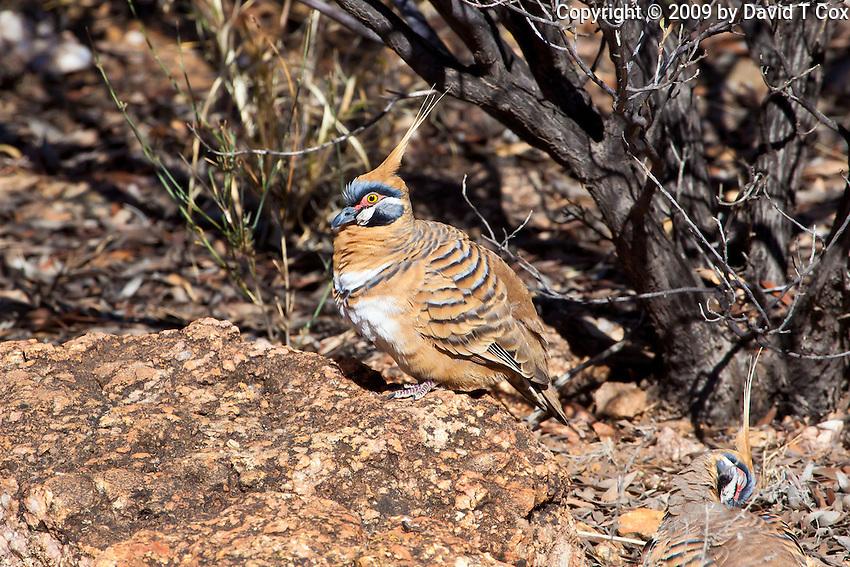 Spinifex Pigeon, Alice Springs Desert Park, NT, Australia
