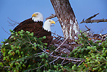 Bald eagles on nest, San Juan Islands, Washington