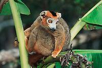 Crowned Lemur (Eulemur coronatus), male in banana tree, Madagascar, Africa