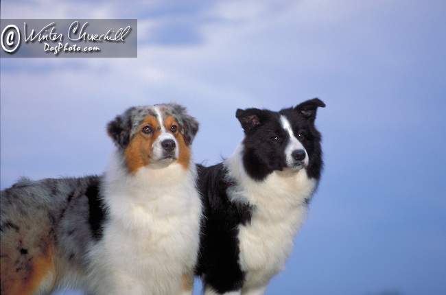 Australian Shepherd with Border Collie<br /> <br /> <br /> <br /> Shopping cart has 3 Tabs:<br /> <br /> 1) Rights-Managed downloads for Commercial Use<br /> <br /> 2) Print sizes from wallet to 20x30<br /> <br /> 3) Merchandise items like T-shirts and refrigerator magnets