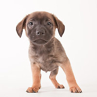 Puppy standing on a white seamless background.  The 8 week old mixed breed puppy was photographed while waiting for adoption at the humane society.  Pet photography by Michael Kloth.
