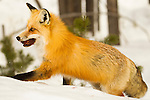 A red fox walks with a mouthful of food in deep snow in Yellowstone National Park, Wyoming.  Photo by Gus Curtis.