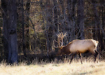 Elk grazing in the Cataloochi area of the Great Smoky Mountains National Park. Ortonized in Photoshop for a more painterly feel. Smoky Mountain photos by Gordon and Jan Brugman.