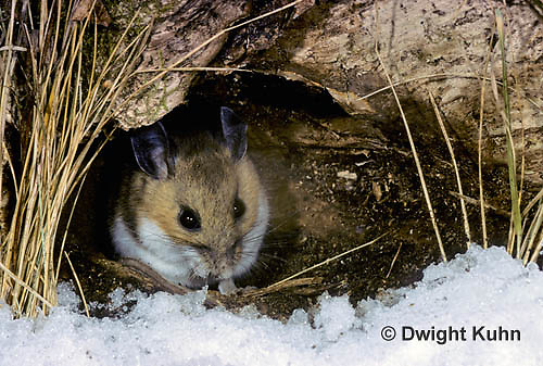 MU12-003b  Deer Mouse - at entrance to winter nest - Peromyscus maniculatus