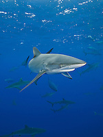 RM0741-D. Silky Shark (Carcharhinus falciformis), grows to 3.3m, usually pelagic, sometimes in big schools, as here, when gathered together to feed on fish in baitball. Baja, Mexico, Pacific Ocean. <br /> Photo Copyright &copy; Brandon Cole. All rights reserved worldwide.  www.brandoncole.com