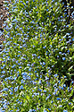 Myosotis 'Blue Basket', late April. A cultivated form of Forget-Me-Not.
