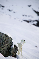 Dall sheep ewe, Atigun pass, Brooks range, Arctic, Alaska