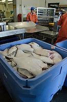 Processing Halibut at Pacific Seafood, Kodiak Island, Alaska, US