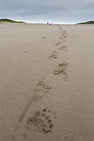 Brown bear tracks in the sandy beach on the Alaska Peninsula coast, Katmai National Park, Alaska.