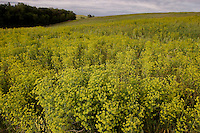 Yellow flowering eurasian leafy spurge spreads across a field on a ranch in North Dakota. Leafy spurge can be catastrophic to grasslands for both economic and ecological reasons. It is estimated that the plant reduces the productivity of grazing land by 50 to 75 percent. It currently inhabits about <br /> three million acres of rangeland in the U.S. The plant can reach densities of up to 1,800 stems per square yard. Its deep root system makes eradication of the species extremely difficult. Roots are woody, tough, and can reach depths up to 15 feet, and lateral spread of up to 35 feet. Vegetative reproduction from both crown.
