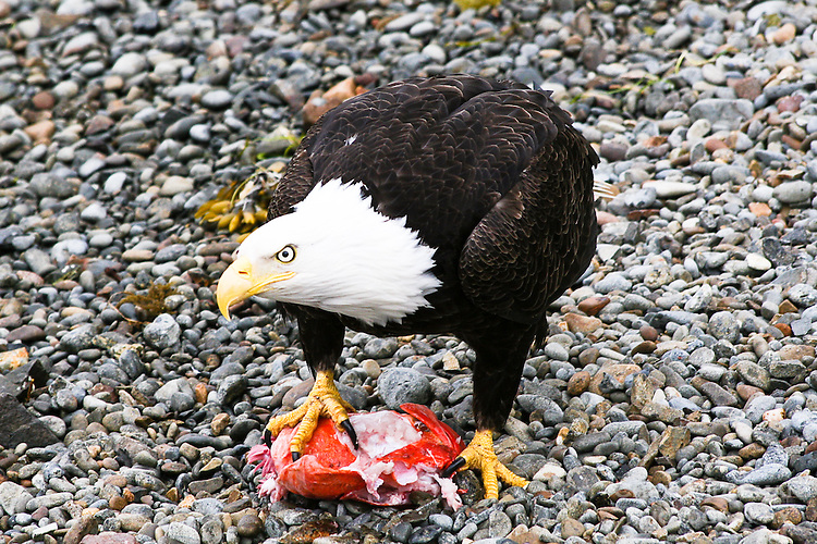 """Bald eagle in Sitka, Alaska shows other eagles that this piece of fish is """"mine"""""""