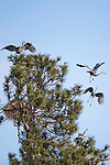 Great Blue Herons at a rookery in ponderosa pine trees in western Montana
