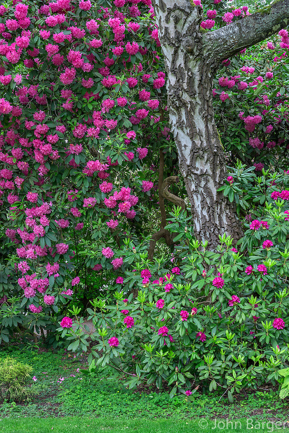 Orptc d179 rhododendrons and birch tree crystal springs rhododendron garden portland oregon for Crystal springs rhododendron garden