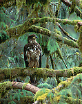 An immature bald eagle in old-growth forest, Anan Creek, Alaska