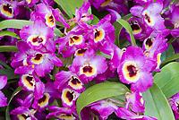 Orchid Yamamoto Dendrobium