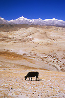 Yak grazing above Lo Manthang in the Mustang valley, Nepal, 2008