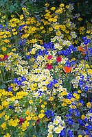 Mixed beautiful Western American native wildflowers in gold,yellow, orange, blue, variety of colorful blooms, Linum, poppy, Eschscholzia californica, Limnanthes douglasii, blue Phacelia campanularia, Fetzer Garden, 2007 Chelsea Flower Show