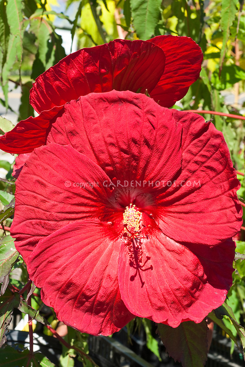 Bgi red blooms of Hibiscus 'Fireball'