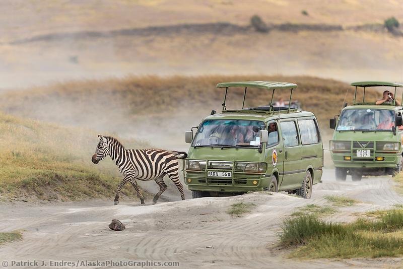 Zebra crosses the road in the Ngorongoro Crater, Tanzania, Africa