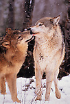 Grey wolf pair, Montana