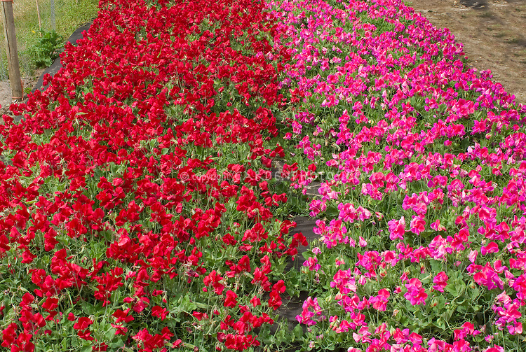 Mixed Sweetpeas flowers, pink and red, growing together in garden: Lathyrus odoratus 'Cherub Crimson' (TN1, left), 'Lady T' (TN2)