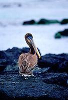 Brown Pelican on Santa Cruz,  Galapagos Islands, Ecuador