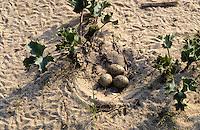 Austernfischer, Nest mit Eiern, Gelege, Ei, Haematopus ostralegus, oystercatcher