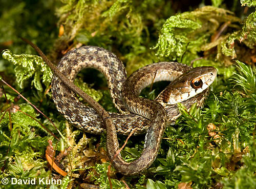 0102-0903  Young Garter Snake on Moss, Thamnophis sirtalis, Maine  © David Kuhn/Dwight Kuhn Photography