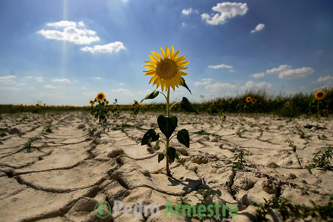 A  sunflower is seen in Villa-viejas's agricultural dry field, in Cuenca, 02 August 2006. (C)Pedro ARMESTRE