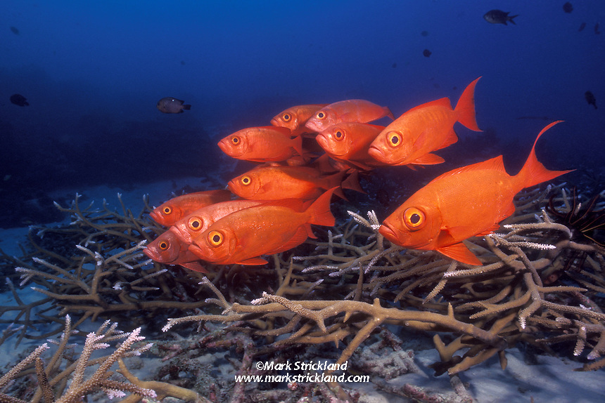 A school of Lunar-Tail Bigeyes, Priacanthus hamrur, hover over a garden of staghorn coral.  Similan Islands Marine National Park, Andaman Sea, Thailand, Indian Ocean. filename: beyesch2