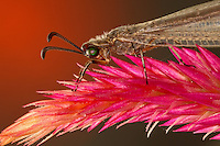 "On close insepction one can see ""star-wheels"" at eyes center. The insect is the predatory ""Antlion"". Their larvae are predatory while the adult stage feeds on nectar and pollen. Larvae are voracious predator of ants and other small insects that become entrapped in the conical pits constructed by Ant Lion larvae."