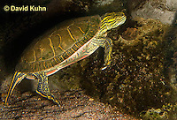 0216-1107  Western Painted Turtle Swimming Underwater, Chrysemys picta bellii  © David Kuhn/Dwight Kuhn Photography