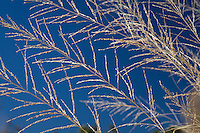 Big (Giant) Sacaton (Sporobolus wrightii) flowering ornamental grass and blue sky