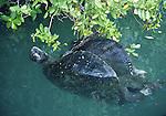 mating green sea turtles