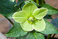 Helleborus x nigercors 'Green Corsican' (Green hellebore)