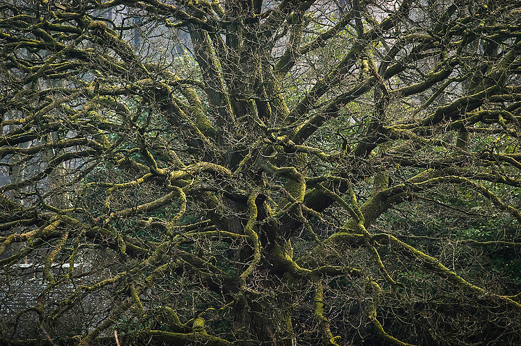 Closeup of a moss-covered oak tree in sunlight