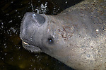 West Indian Manatee, Trichechus manatus, Florida
