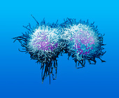 Mitosis Series: Early telophase stage of human ,HeLa, cell division. SEM X3600 **On Page Credit Required**