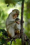 A Rhesus monkey (Mucaca mulata) cleaning her young at Vanchet, Savannachet province, Laos.