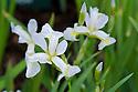 Iris versicolor 'Between the Lines'.