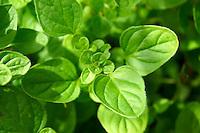 Fresh oregano leaves