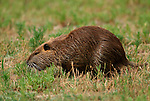 Coypu, Myocaster coypa, foraging in grass, Camargue, Southern France.France....