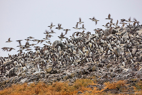 Common Murres, Bird Rocks, Oregon Coast