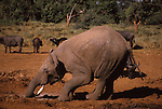 African elephant digging at the Ark