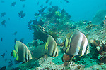Anilao, Philippines; three adult and two juvenile Golden Spadefish (Platax boersii) swimming over the coral reef