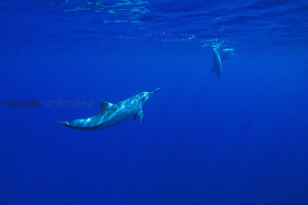 Long-snouted spinner dolphins, (Stenella longirostris), off Kona Coast, Big Island, Hawaii, Pacific Ocean.