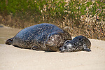 Children's Pool, La Jolla, California; a newborn Harbor Seal (Phoca vitulina) pup bonds with it's mother on a sandy beach