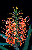 A blooming bract of orange kahili ginger (Hedychium coccineum), framed by leaves