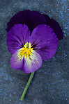 Close up of single purple mauve and yellow flower of Pansy or Viola tricolor lying on tarnished metal sheet